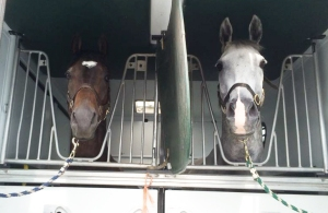 Pass Muster and King's Grey enjoy a morning at redcar beach...