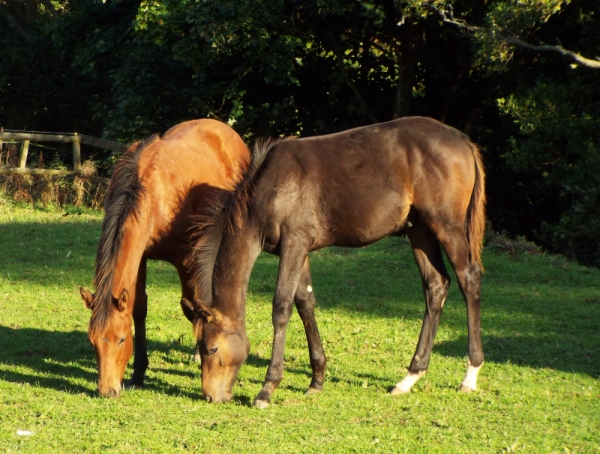Rebel and Twix grazing in the evening sun
