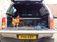 chicken 265