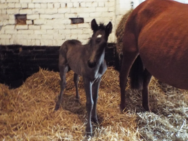 Epicurean's tall colt