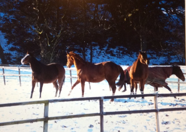 Broodmares playing in the snow at Castleton today.