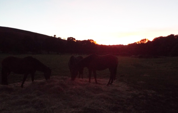 The mares at sunset this evening - Castleton home yard.