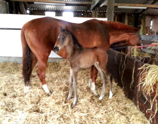 Show Potential with her 2014 Josr Algarhoud foal