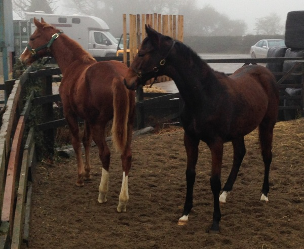 The chestnut Arcano filly and the bay Equiano filly