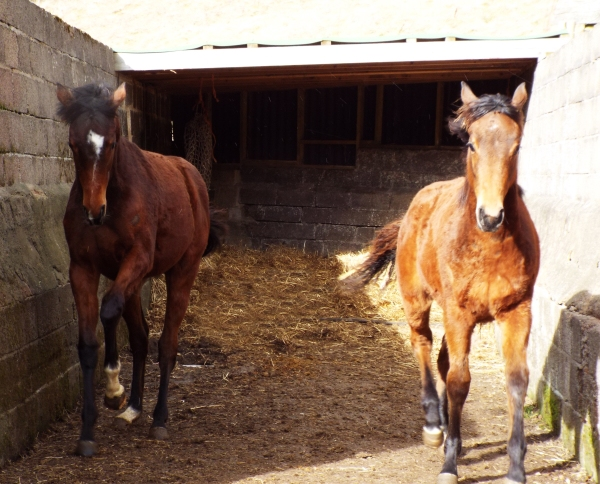 The yearlings playing in the pen - Enlighten me (left)  Hula Ballew's filly on the right.