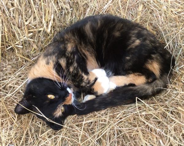 Tosca the barn cat