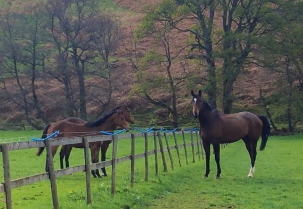 Stenna saying hello to the yearling fillies