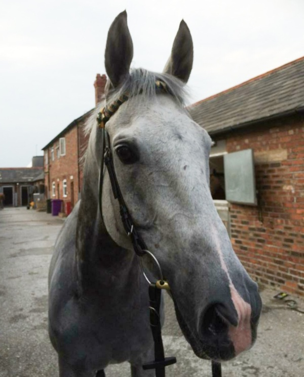 King's Grey after the race back at the stable yard...