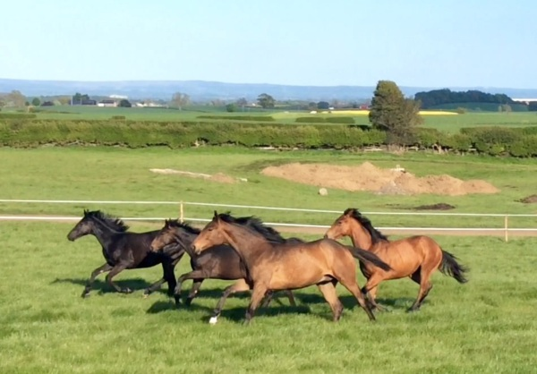 The yearling colts stretching out