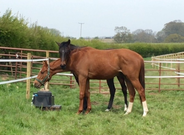 Best friends, Improveds bay half brother leans on his Shirocco friend for company - both 2 year olds.