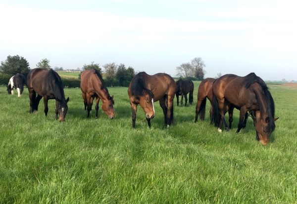 The mares and fillies at grass
