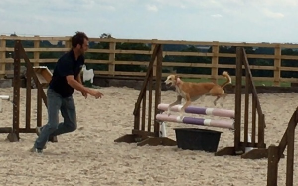 Dog agility Saluki!!