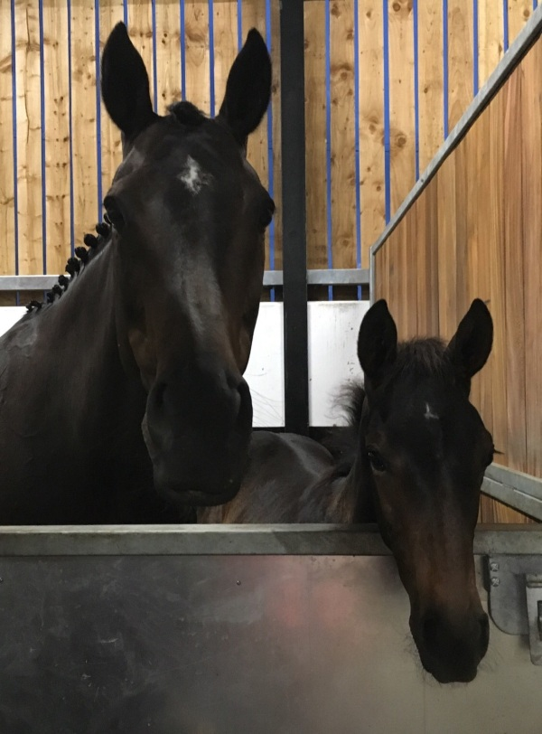Lady Chapp and her foal ready for the TBA 'NH stars of tomorrow' foal show at Bangor on Sunday
