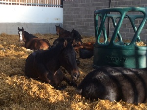 Barn youngsters