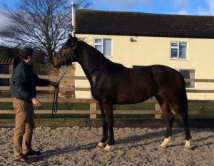 Lady Buttons half brother 2 year old colt out of Lady Chapp by Robin des Champs