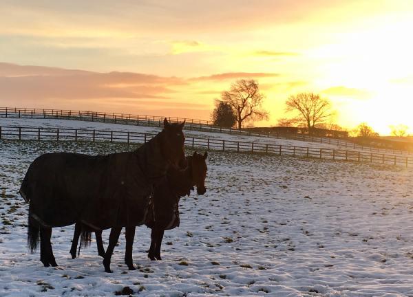 Snowyfieldhorses