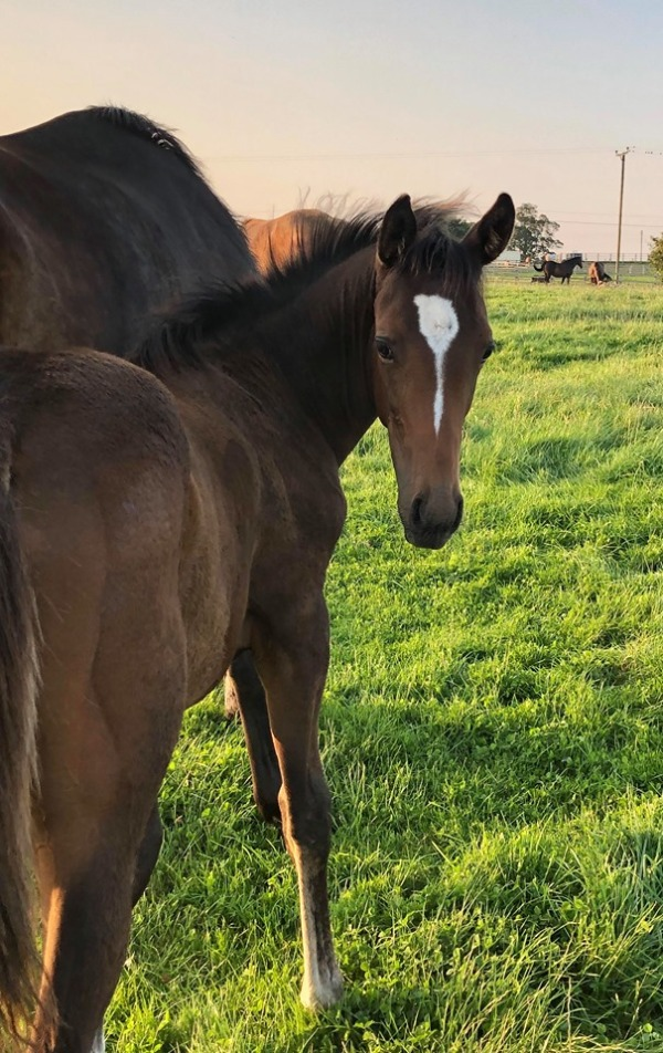 Lady Westerner x Spanish Moon colt